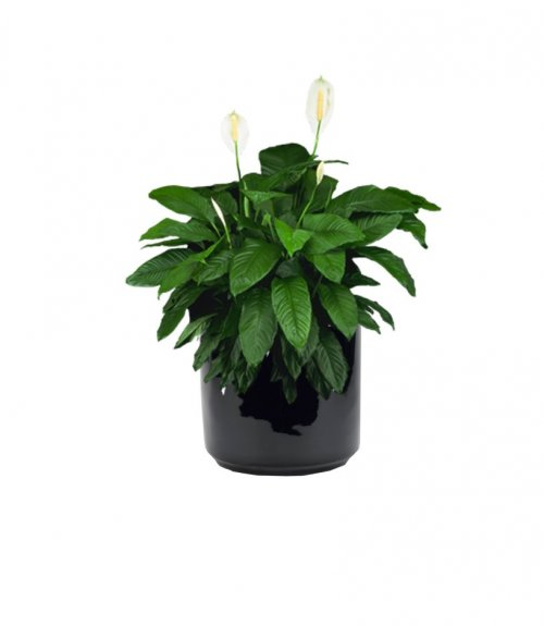 Spathiphyllum Peace Lily Supreme